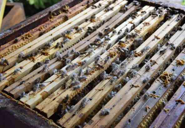 Figuur 4: geef de bepoederde bijen aan de kolonie terug