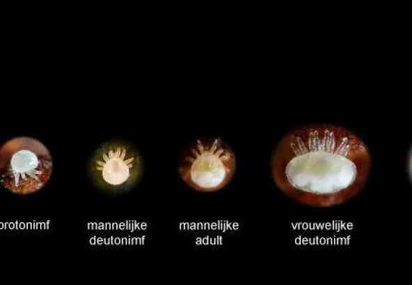 Ontwikkelingsstadia van Varroa destructor; mannelijke deutonimf en larve, door J. Eberhardt (Youtube), overige vier foto's door Gilles San Martin (Flickr).