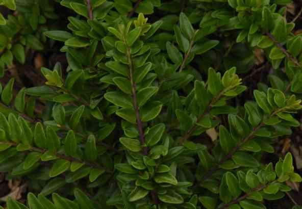 Lonicera nitida (hier L. nitida var Maïgrun) is een goed alternatief