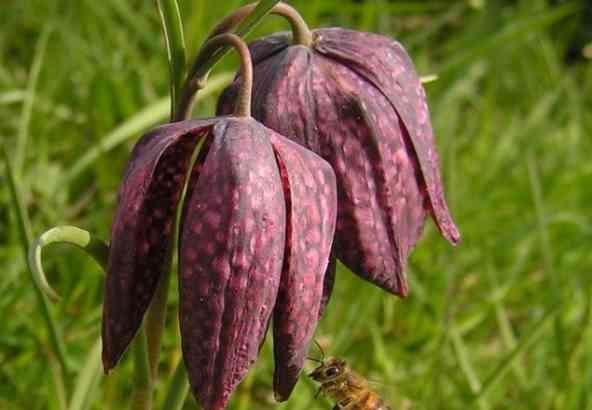 Kievitsbloem (Fritillaria meleagris)