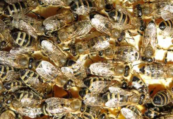 Bijen besproeid met oxaalzuuroplossing.