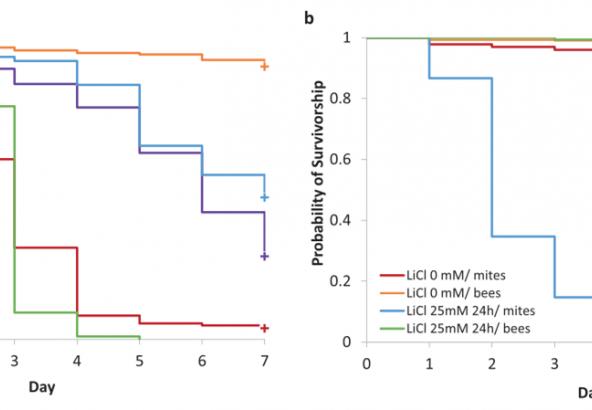 Figuur 1: Figuur overgenomen uit het artikel van Ziegelmann B. in Scientific Reports. Sterfte van foretische varroamijten en honingbijen na toediening van LiCl in een kooiproef opstelling.
