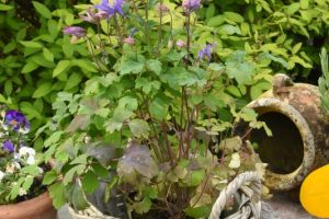 Aquilegia vulgaris var. Winky Early Sky Blue