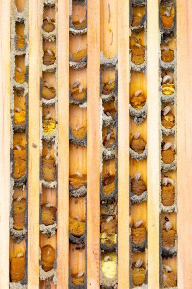 In elk celletje bevindt zich telkens één eitje op een mengsel van nectar en stuifmeel.