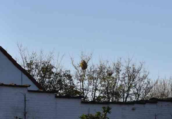 Nest van de Aziatische hoornaar in boomtop