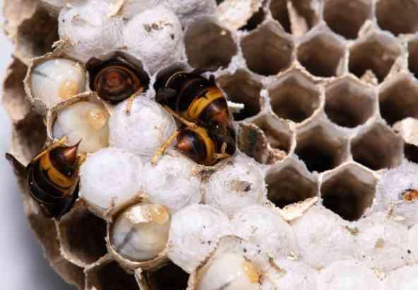 Opengemaakt nest van de Aziatische hoornaar
