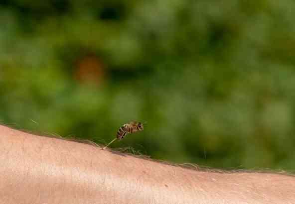 Een honingbij steekt, waarna de angel blijft zitten.