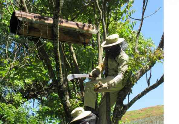 Stalen verzamelen uit een traditionele bijenkast in Mt Elgon Uganda