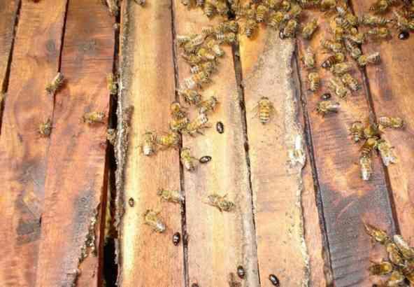 De kleine kastkever bovenin een bijenkolonie in een Keniaanse top bar bijenkast.