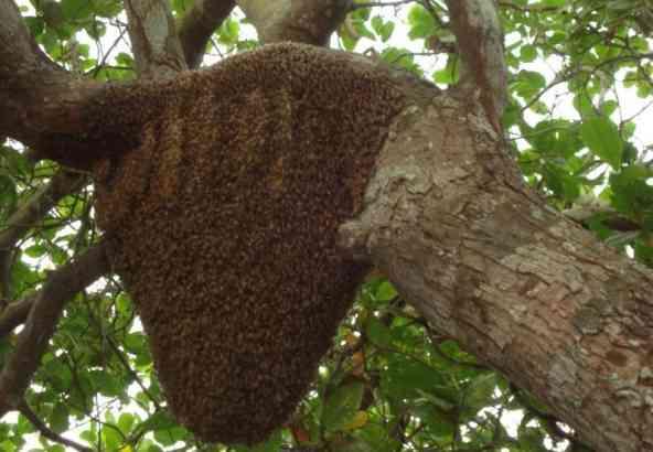 Vrije kolonie van Apis mellifera in een Anacardium accidentale boom.