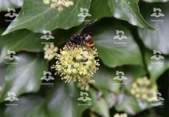 Hbv Foto 033: Aziatische hoornaar op bloeiende klimop