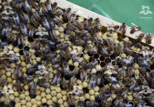 Hbv Foto 001: bijen op darrenraat