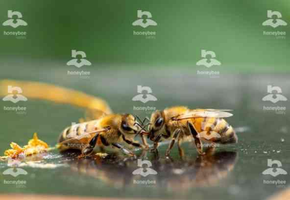 Hbv Foto 017: trophalaxis van bijen