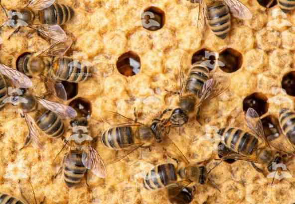 Hbv Foto 018: trophalaxis van bijen