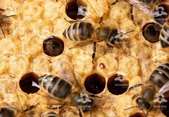 Hbv Foto 019: varroamijt op bijenraam