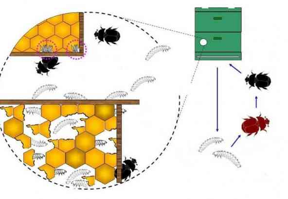 Kleine Bijenkastkever Levenscyclus (© Dr. Otto Boecking, Instituut voor Bijenkunde, Celle, Duitsland)