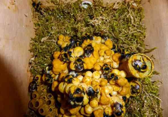 Nest veenhommels (Bombus janellus) ©Roland Dejonghe