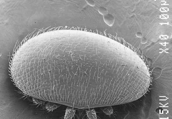Elektronen Microscopische foto van Varroa mijt bovenkant