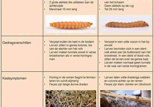 Verwar Kleine Bijenkastkeverlarven niet met wasmotlarven!