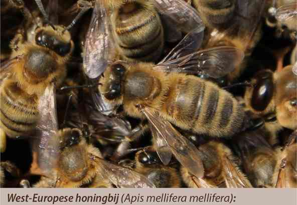 West-Europese honingbij