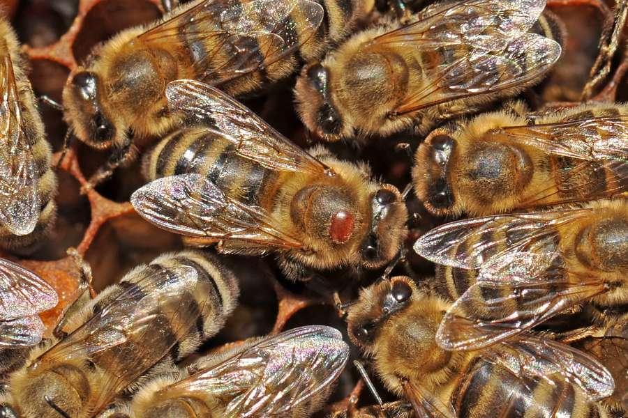 Honingbij Met Varroa