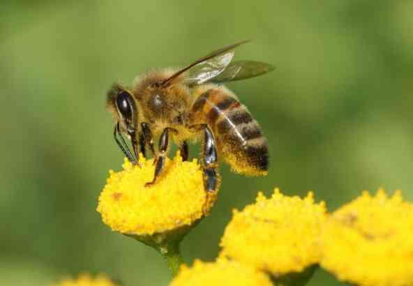Korfverzamelaar, honingbij - Apis mellifera  (© Henk Wallays)
