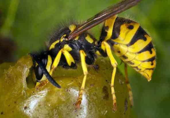 Wesp die zich voedt met plantensappen (© Bildagentur Zoonar GmbH)