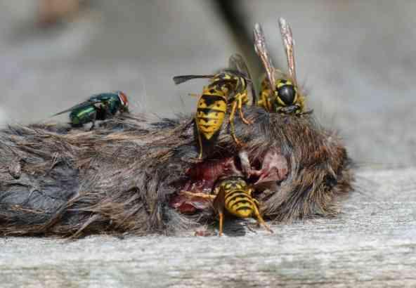 Wespen zijn echte vleeseters (© Hans De Blauwe)